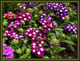 الزهور ونباتات الزينة, Images?q=tbn:ANd9GcRTVsFvL6xJzfvio8S6bFZxfVEoHfFRLXAj6T0yoLS1VFBNvyLm