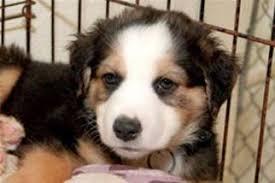 3 australian shepherd mix puppies for adoption view ad australian shepherd great pyrenees mix dog for adoption