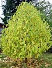 Image result for Asimina triloba
