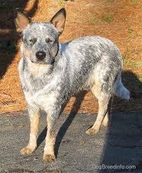 australian shepherd queensland heeler australian cattle dog breed information and pictures