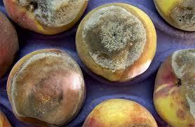 العفن البني (المونيليا) اللوزيات والتفاحيات