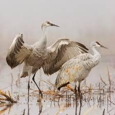 saskatchewan whooping cranes birding tour eagle eye tours