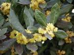 File:<b>Laurus</b> nobilis flowers.