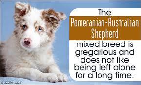 australian shepherd qualities complete information about pomeranian australian shepherd mix