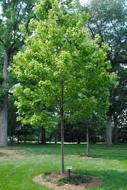 Maple Tree Symbolism by Trees U0026 Water Agnes Scott Arboretum