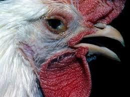Penyakit Infectious Bronchitis Pada Ayam