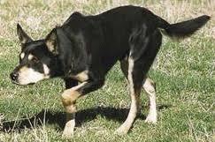 australian shepherd queensland heeler herding breed characteristics