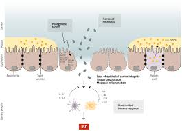 frontiers intestinal epithelium in inflammatory bowel disease
