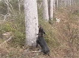 training a bluetick coonhound to hunt bluetick coonhound dog breed pictures 2