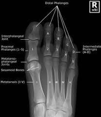 Scapula   AP   Radiographic Anatomy   Pinterest