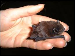 One of the smallest bat