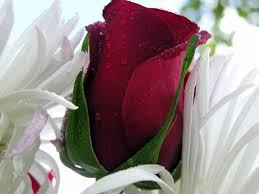 زهور رومانسية 2013 زهور رومانسية