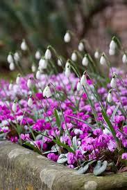 cyclamen coum planting garden ideas and winter