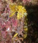 under pressure world: Pacific Seahorse- Sea of Cortez underpressure-spurdog.blogspot.com
