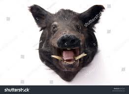belgian shepherd stuffed animal stuffed wild pig head on white stock photo 847334 shutterstock