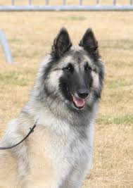 belgian sheepdog national specialty 2018 berger belge u0026 amis may 2013