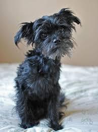 oldest affenpinscher 30 best affenpinscher dogs images on pinterest brussels