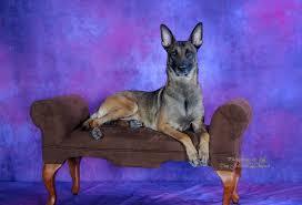belgian sheepdog breeders in texas stonefox