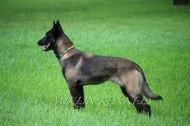 belgian shepherd nc belgian malinois puppies and dogs for sale in usa
