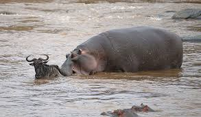 The hero hippo. Injured