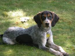 bluetick coonhound puppies for sale in ohio adopt a cat or a dog at savearescue