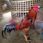 ไก่ใต้ ไก่ชี ชุมพร พังงา สุราษฎร์ธานี's Photos