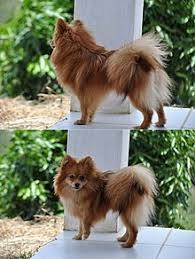 zwerg affenpinscher german spitz wikipedia