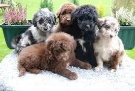 3 australian shepherd mix puppies for adoption aussiedoodle australian shepherd and poodle mix spockthedog com