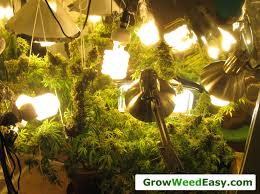 easy beginner grow cannabis guide w cfl grow lights how to grow