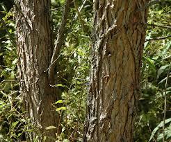 White Oak Bark Field Biology In Southeastern Ohio Is Bark Worse Than A Bite
