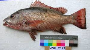 Mangrove red snapper