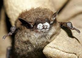 bat killing disease spread minnesota dnr u2013 twin