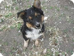 australian shepherd yorkshire terrier mix moose adopted puppy wauseon oh australian shepherd blue