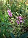 Image result for Desmodium canadense
