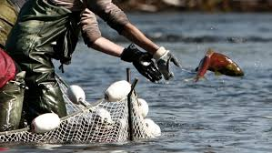 A worker with the Department of Fisheries and Oceans tosses a sockeye salmon back into the CBC