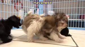 havanese puppies dogs for sale in tampa florida fl