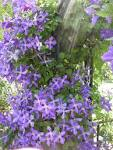 Have You Noticed the Clematis This Year? | Two Old Horses and Me