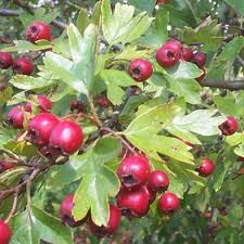 arbuste , plantes de nos jardin commestible .edible bush , smalltrees , plants Images?q=tbn:ANd9GcRkpBTF0nikZ0hvu7Rj6LQzVJFPgmwT6dcHQnY1cyRAWlhQCZs&t=1&usg=__x2jyZ5sR2MND630QT1H2ouFldT4=