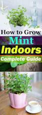 growing mint indoors u0026 how to care it balcony garden web