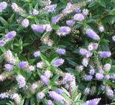hebe u0027caledonia u0027 caledonia bush veronica flowering evergreen with