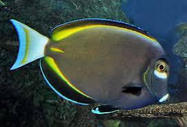 Whitecheek surgeonfish