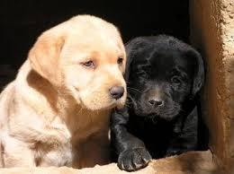 imagenes de perros labradores
