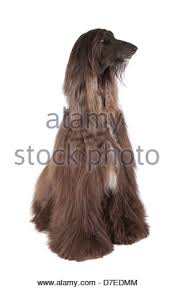 afghan hound long haired dogs afghan hound sitting front view stock photo royalty free image