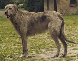 afghan hound long haired dogs 14 gigantic looking long legged and longhaired dogs the tallest