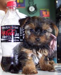 australian shepherd yorkshire terrier mix pet ranch puppies