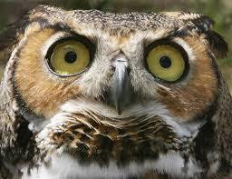 it u0027s hooting season for great horned owls startribune com