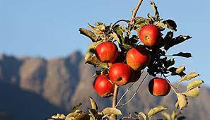 %name E trentina la super mela del futuro: La Fondazione Edmund Mach Istituto Agrario ha sequenziato il genoma del melo