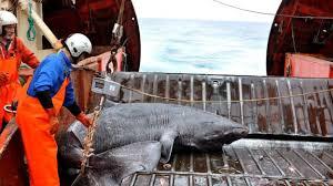 year old Greenland shark      longest living vertebrate        BBC News BBC