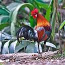 ไก่ป่า Red Junglefowl - a photo on Flickriver