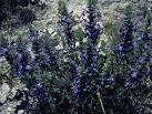 Image result for Salvia texana